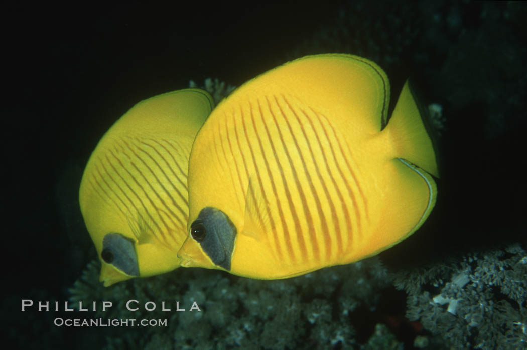 Masked butterflyfish. Egyptian Red Sea, Chaetodon semilarvatus, natural history stock photograph, photo id 05268