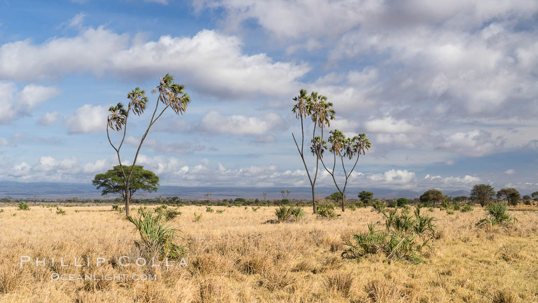 Meru National Park landscape. Kenya, Hyphaene thebaica, natural history stock photograph, photo id 29698