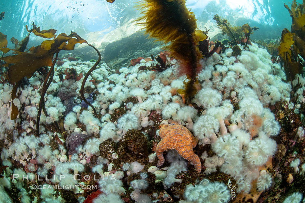 White metridium anemones fed by strong ocean currents, cover a cold water reef teeming with invertebrate life. Browning Pass, Vancouver Island. British Columbia, Canada, Metridium senile, natural history stock photograph, photo id 35502