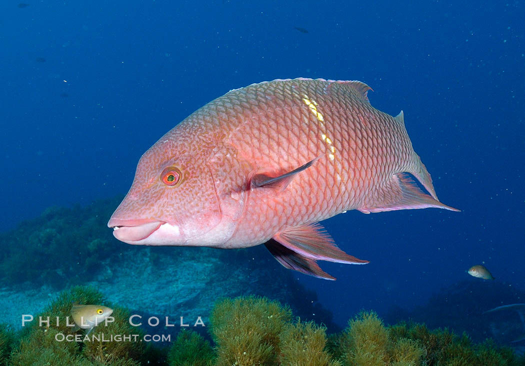 Mexican hogfish photo stock photograph of a mexican for Guadalupe island fishing