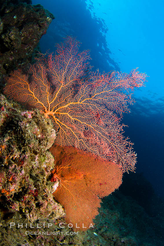 Reef with gorgonians and marine invertebrates, Sea of Cortez, Baja California, Mexico. Sea of Cortez, Baja California, Mexico, natural history stock photograph, photo id 27504