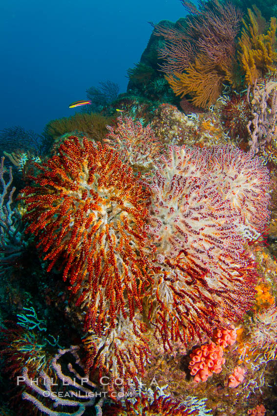 Image 27512, Reef with gorgonians and marine invertebrates, Sea of Cortez, Baja California, Mexico. Sea of Cortez, Baja California, Mexico