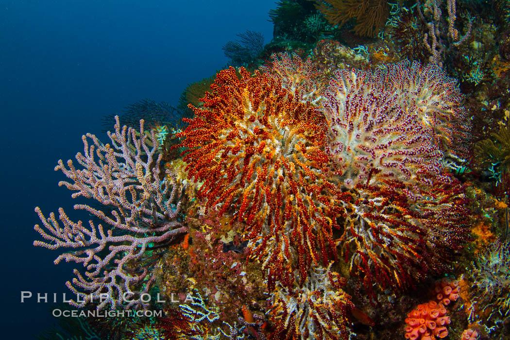 Reef with gorgonians and marine invertebrates, Sea of Cortez, Baja California, Mexico. Sea of Cortez, Baja California, Mexico, natural history stock photograph, photo id 27511