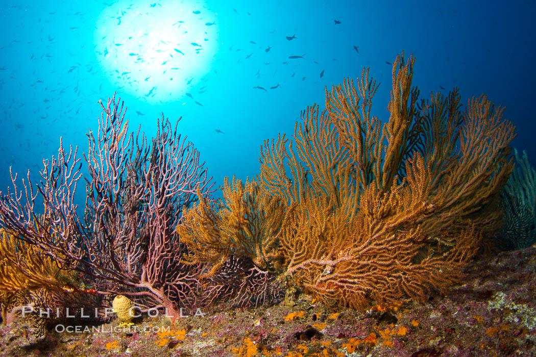 Reef with gorgonians and marine invertebrates, Sea of Cortez, Baja California, Mexico. Sea of Cortez, Baja California, Mexico, natural history stock photograph, photo id 27519