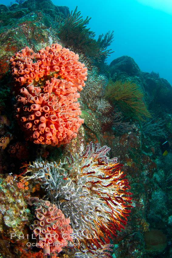 Reef with gorgonians and marine invertebrates, Sea of Cortez, Baja California, Mexico. Sea of Cortez, Baja California, Mexico, natural history stock photograph, photo id 27509