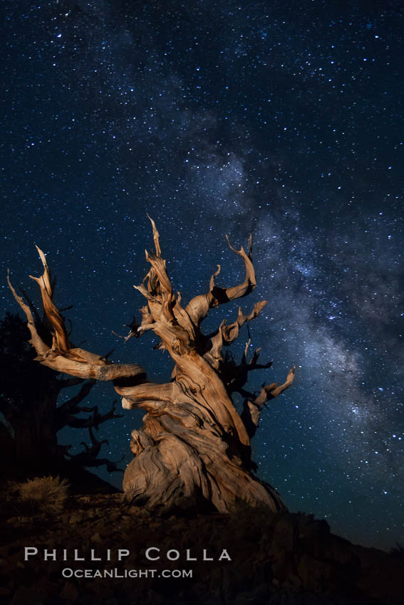 Stars and the Milky Way rise above ancient bristlecone pine trees, in the White Mountains at an elevation of 10,000' above sea level.  These are some of the oldest trees in the world, reaching 4000 years in age. Ancient Bristlecone Pine Forest, White Mountains, Inyo National Forest, California, USA, Pinus longaeva, natural history stock photograph, photo id 27776