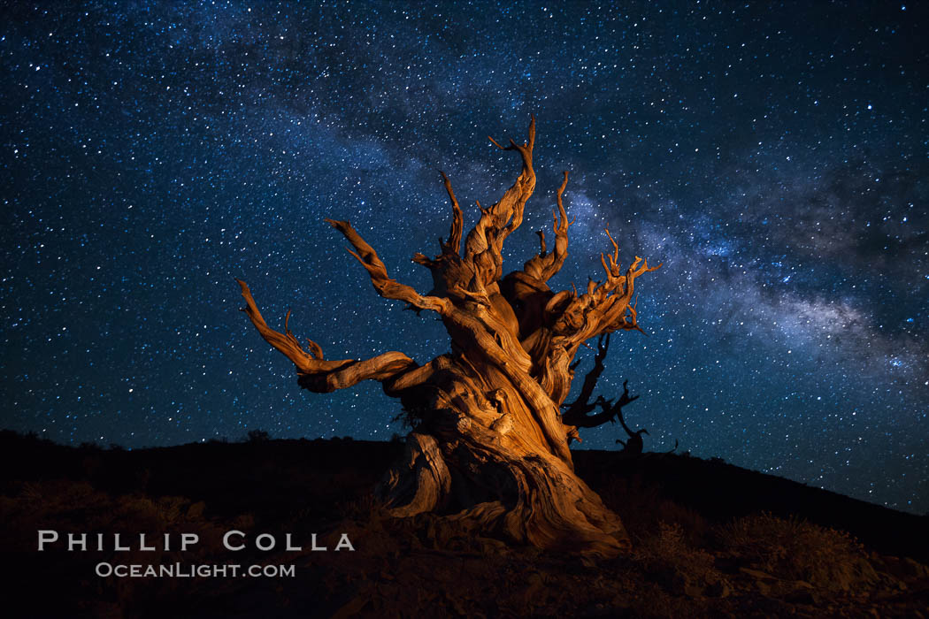 Stars and the Milky Way rise above ancient bristlecone pine trees, in the White Mountains at an elevation of 10,000' above sea level.  These are some of the oldest trees in the world, reaching 4000 years in age. Ancient Bristlecone Pine Forest, White Mountains, Inyo National Forest, California, USA, Pinus longaeva, natural history stock photograph, photo id 27780