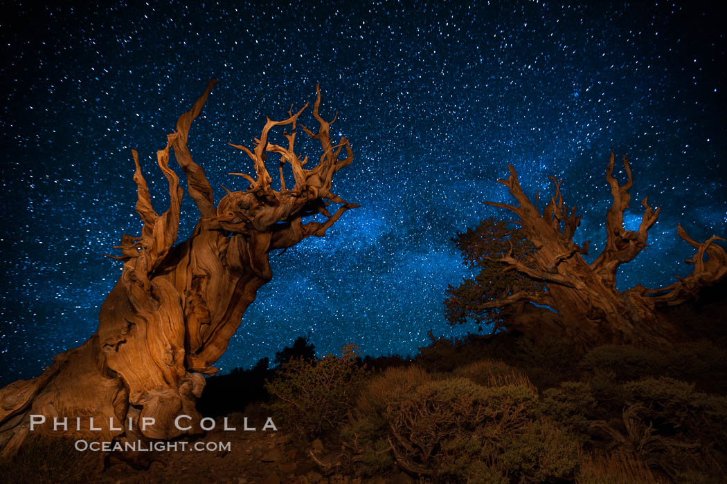 Stars and the Milky Way rise above ancient bristlecone pine trees, in the White Mountains at an elevation of 10,000' above sea level.  These are some of the oldest trees in the world, reaching 4000 years in age. Ancient Bristlecone Pine Forest, White Mountains, Inyo National Forest, California, USA, Pinus longaeva, natural history stock photograph, photo id 27775