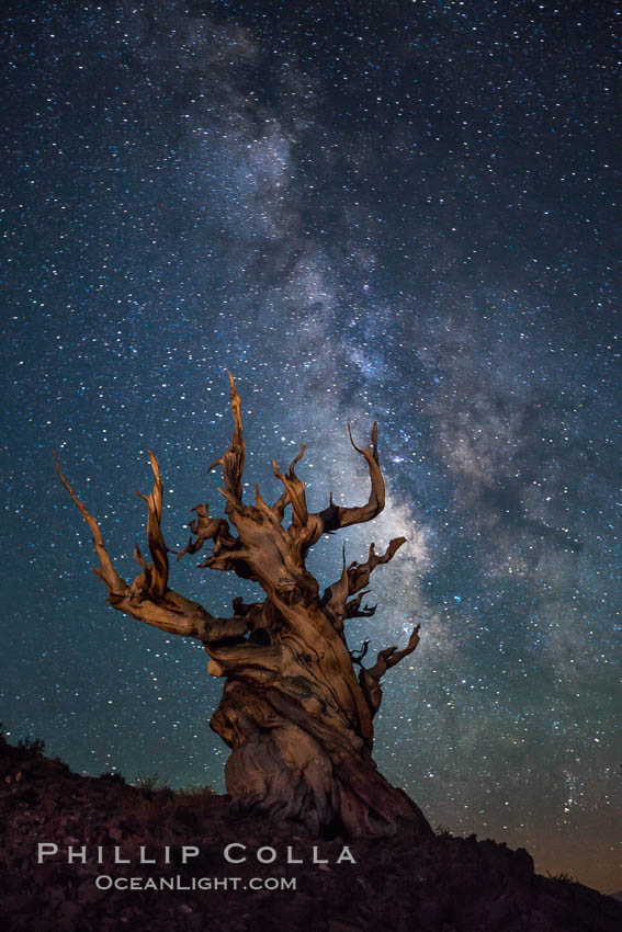 Stars and the Milky Way rise above ancient bristlecone pine trees, in the White Mountains at an elevation of 10,000' above sea level.  These are some of the oldest trees in the world, reaching 4000 years in age. Ancient Bristlecone Pine Forest, White Mountains, Inyo National Forest, California, USA, Pinus longaeva, natural history stock photograph, photo id 27793
