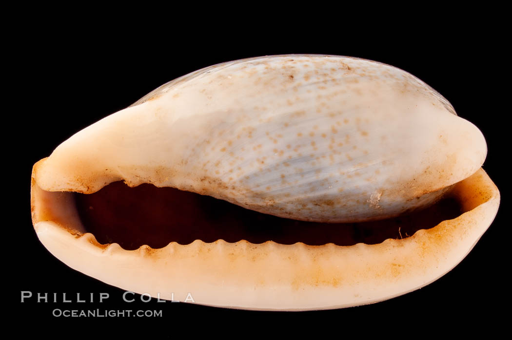 Image 08390, Mistaken Cowrie, Cypraea errones bimaculata, Phillip Colla, all rights reserved worldwide. Keywords: cowries, cypraea errones bimaculata, mistaken cowrie, shells.
