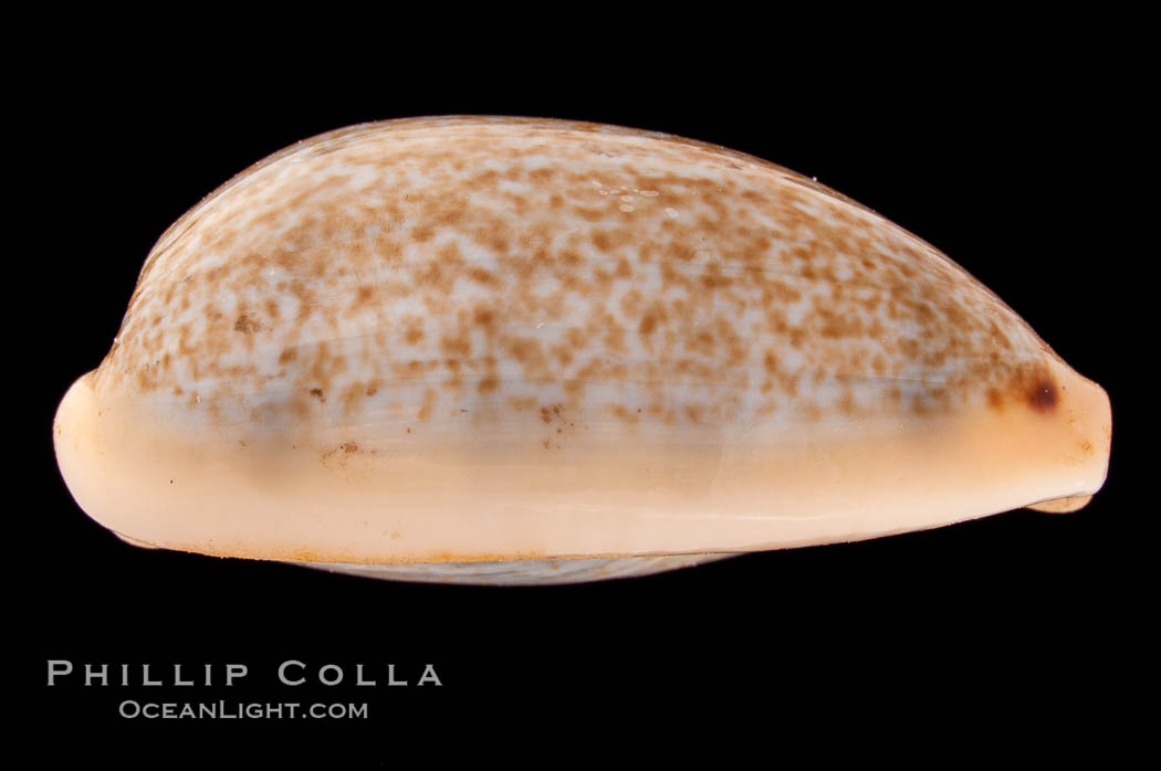 Mistaken Cowrie, Cypraea errones bimaculata, natural history stock photograph, photo id 08391