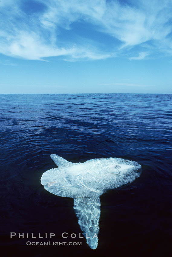 Ocean sunfish., Mola mola,  Copyright Phillip Colla, image #02030, all rights reserved worldwide.