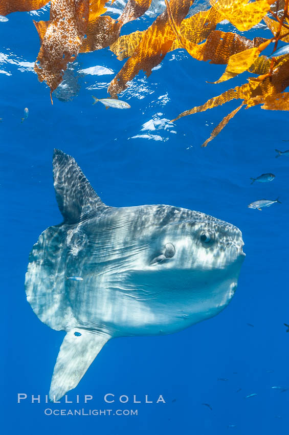 Ocean sunfish hovers near drift kelp to recruite juvenile fish to remove parasites, open ocean. San Diego, California, USA, Mola mola, natural history stock photograph, photo id 10002