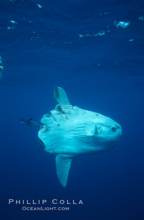 Ocean sunfish injured by boat prop with cleaner fishes, open ocean, Baja California., Mola mola, natural history stock photograph, photo id 06411