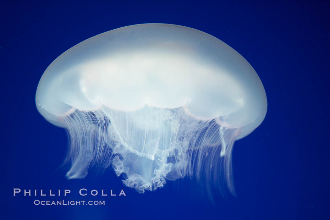 Moon jelly, a semi-translucent jellyfish, ocean drifter, pelagic  plankton., Aurelia aurita, natural history stock photograph, photo id 21540
