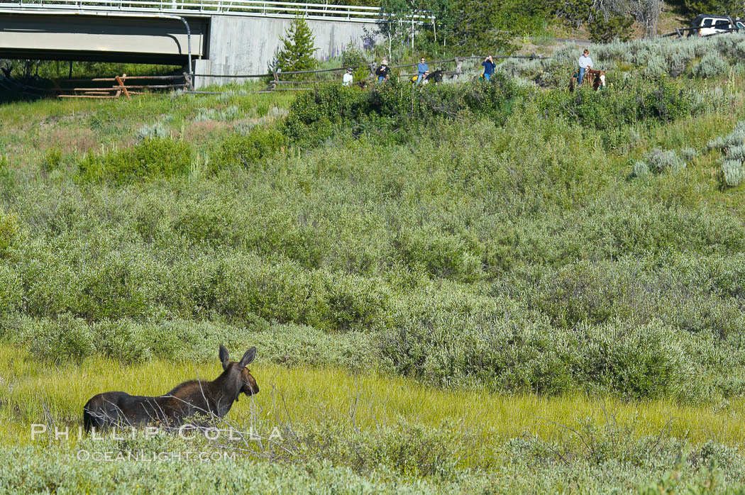 Image 13046, Adult female moose watches horseback riders near Christian Creek. Christian Creek, Grand Teton National Park, Wyoming, USA, Alces alces