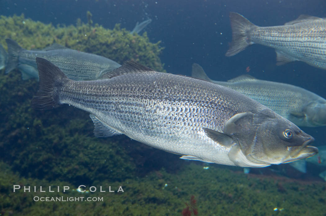 Striped bass (striper, striped seabass)., Morone saxatilis, natural history stock photograph, photo id 10985