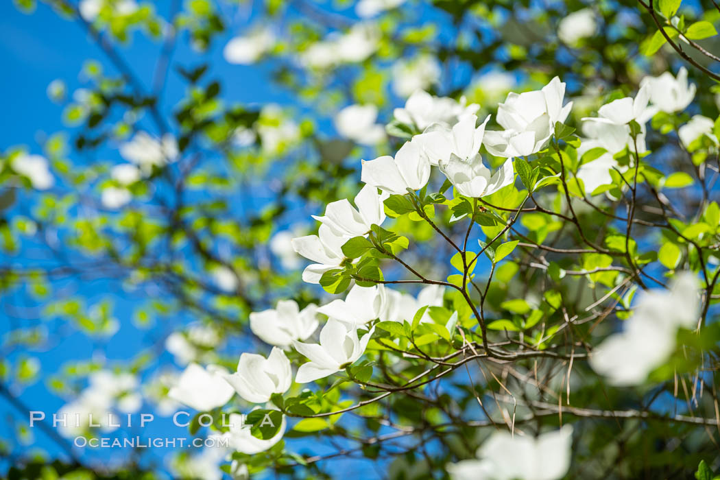 Mountain dogwood, or Pacific dogwood, blooming in spring in Yosemite Valley, Yosemite National Park, California