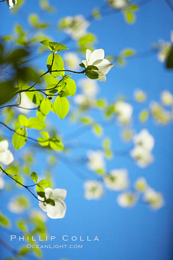 Mountain dogwood, or Pacific dogwood, Yosemite Valley. Yosemite National Park, California, USA, Cornus nuttallii, natural history stock photograph, photo id 12674
