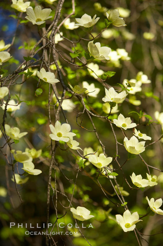 Mountain dogwood, or Pacific dogwood, Yosemite Valley. Yosemite National Park, California, USA, Cornus nuttallii, natural history stock photograph, photo id 12677