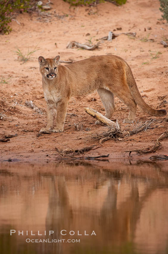 Mountain lion., Puma concolor, natural history stock photograph, photo id 12282