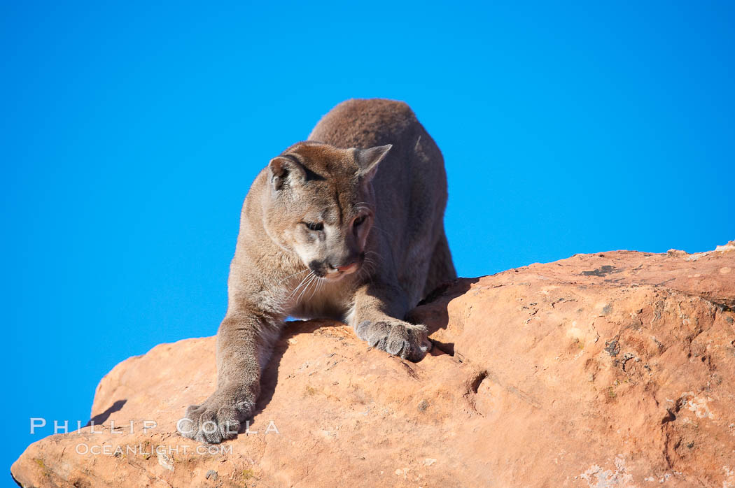 Mountain lion., Puma concolor, natural history stock photograph, photo id 12310