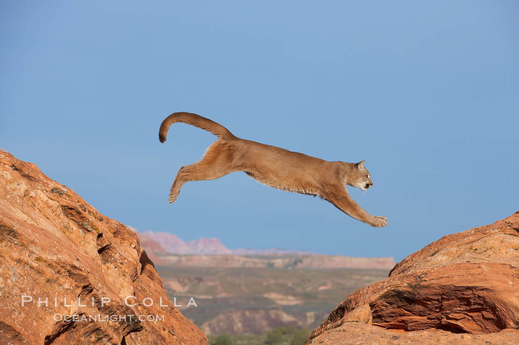 Mountain lion leaping   Puma concolor  natural history stock    Puma Animal Jumping