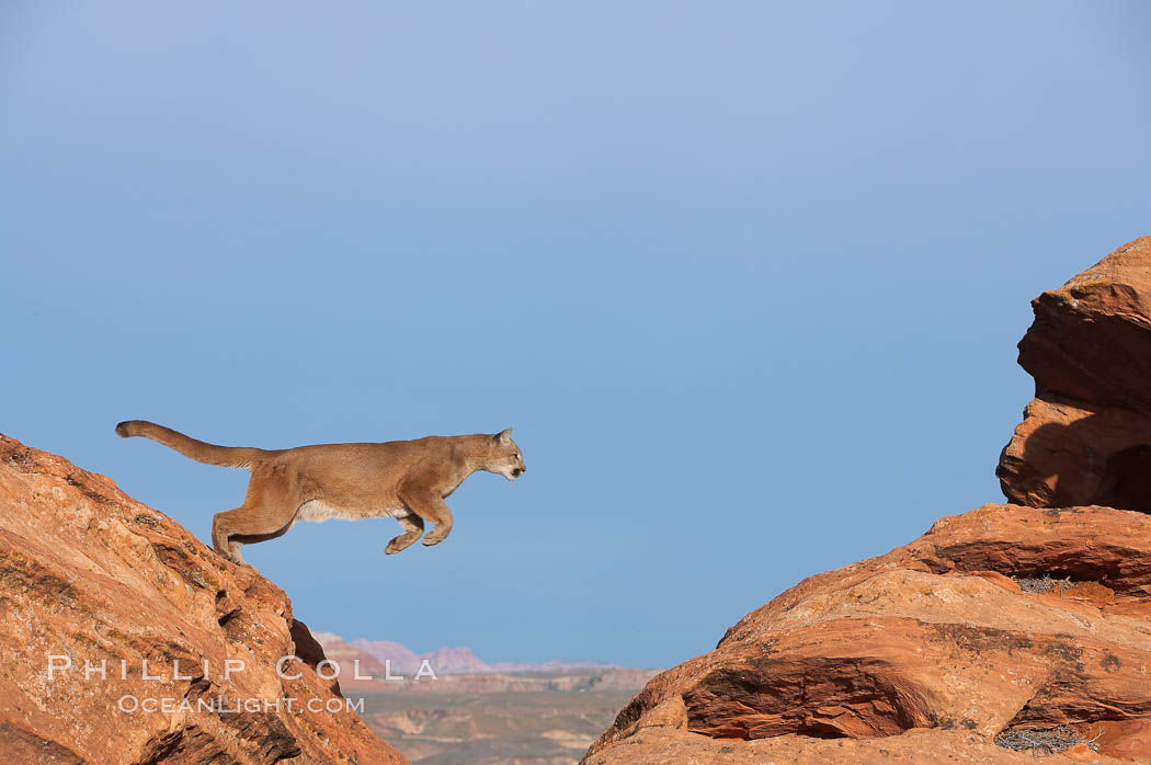 Mountain lion leaping., Puma concolor, natural history stock photograph, photo id 12358