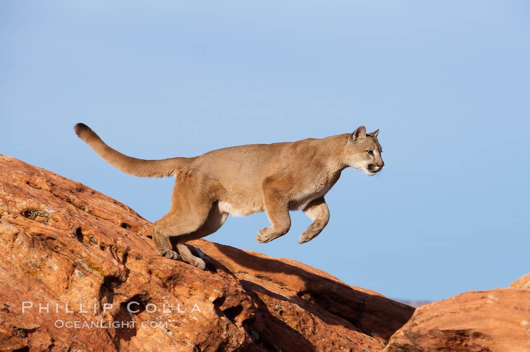 Mountain lion leaping, Puma concolor
