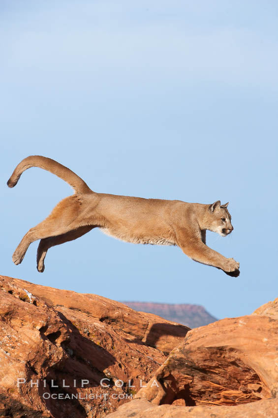 Mountain lion leaping., Puma concolor, natural history stock photograph, photo id 12297