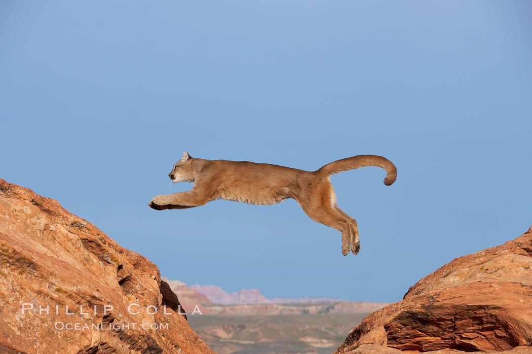 Mountain Lion Photo  Stock Photograph Of A Mountain Lion