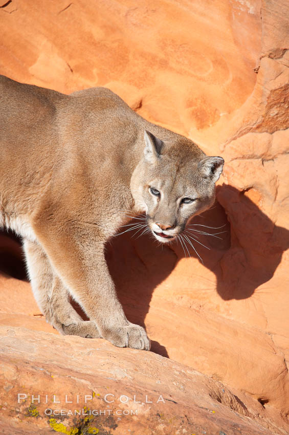 Mountain lion., Puma concolor, natural history stock photograph, photo id 12292