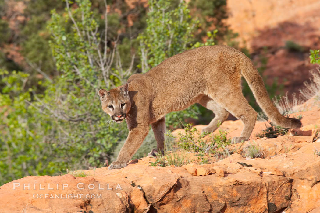 Mountain lion., Puma concolor, natural history stock photograph, photo id 12293