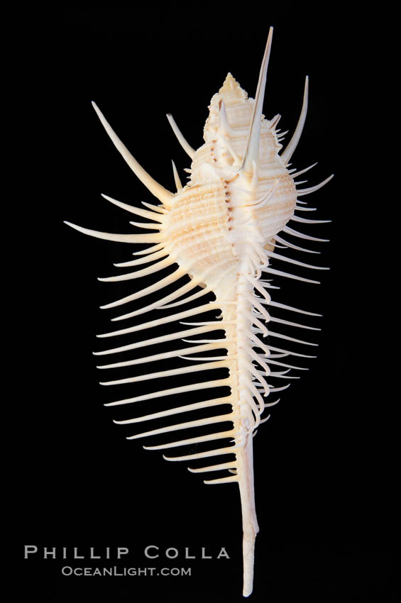 Venus comb murex.  Scientists speculate that the distinctively long and narrow spines are a protection against fish and other mollusks and prevent the mollusk from sinking into the soft, sandy mud where it is commonly found., Murex pecten, natural history stock photograph, photo id 12971