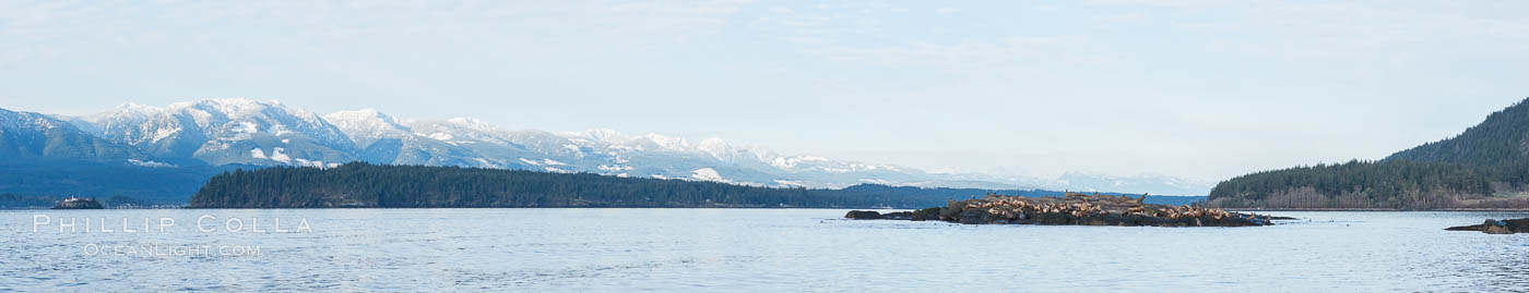 Steller Sea Lions and Bald Eagles atop Norris Rocks, Hornby Island and Vancouver Island, panoramic photo, Eumetopias jubatus