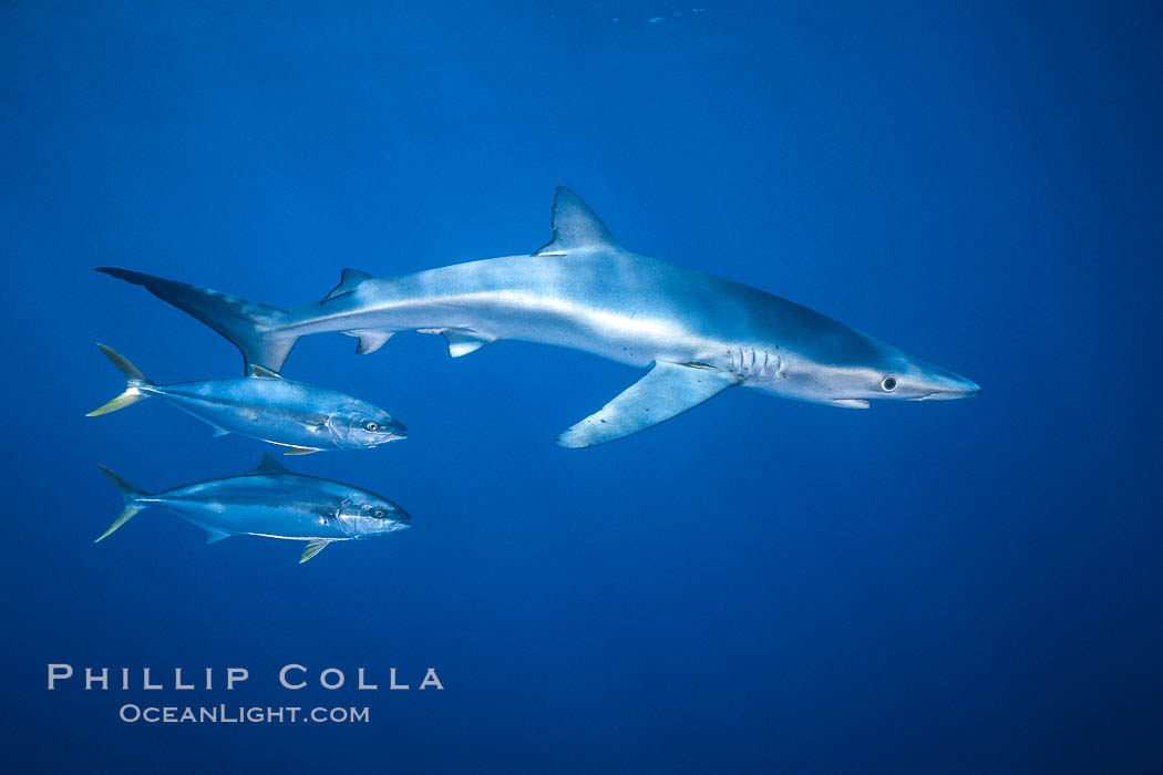 North Pacific Yellowtail brushing against blue shark, Seriola lalandi, Prionace glauca, San Diego, California