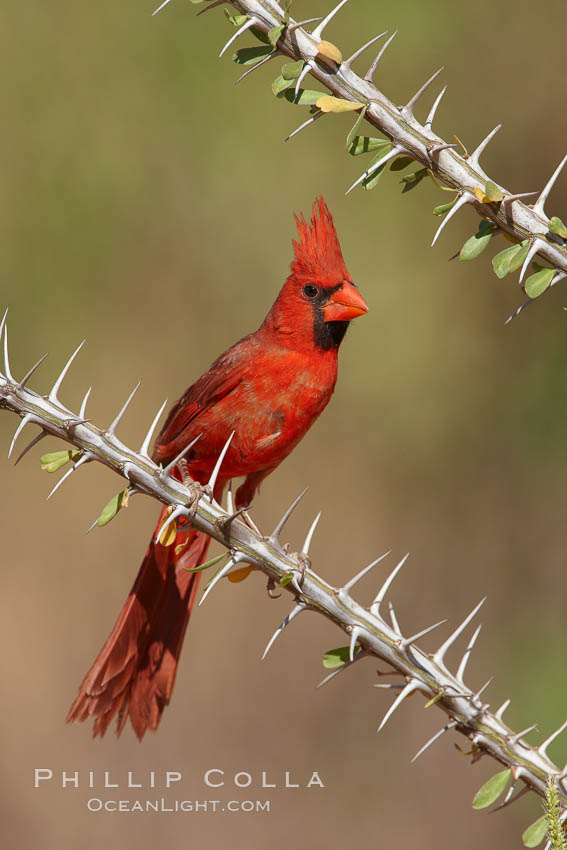 Northern cardinal, male., Cardinalis cardinalis,  Copyright Phillip Colla, image #22891, all rights reserved worldwide.