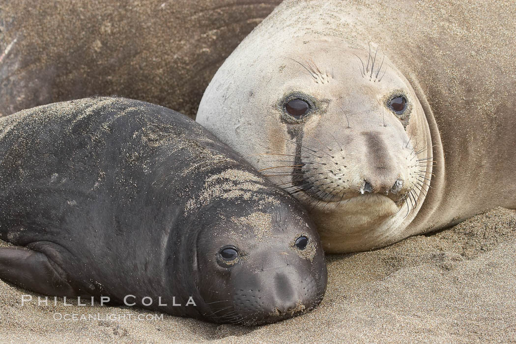 Mother elephant seal and her pup.  The pup will nurse for 27 days, when the mother stops lactating and returns to the sea.  The pup will stay on the beach 12 more weeks until it becomes hungry and begins to forage for food. Piedras Blancas, San Simeon, California, USA, Mirounga angustirostris, natural history stock photograph, photo id 15422