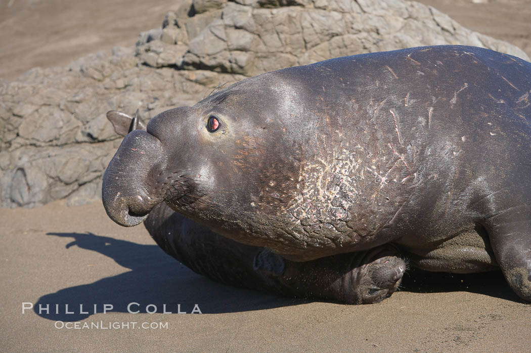 An adult male elephant seal, rushing to attack another male intruding on his territory, tramples a tiny pup.  Pups experience a high mortality rate, including injury, separation from mother, being washed into the ocean and abandonment. Piedras Blancas, San Simeon, California, USA, Mirounga angustirostris, natural history stock photograph, photo id 15423
