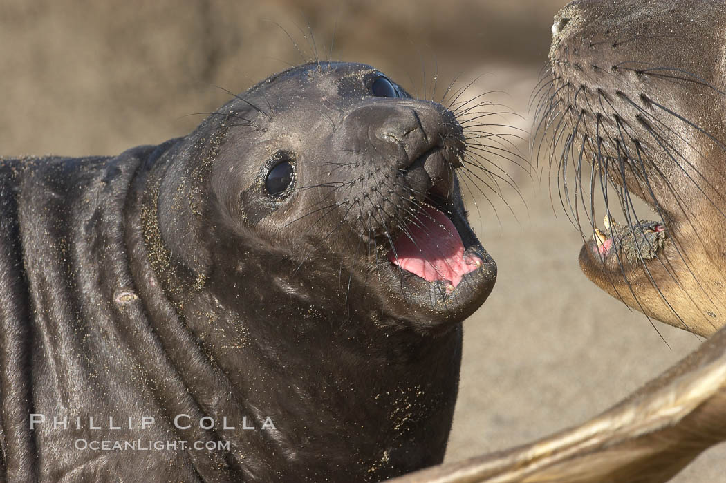 Elephant seal mother and pup vocalize to one another constantly, likely to reassure the pup and confirm the maternal identity on a crowded beach.  Central California., Mirounga angustirostris,  Copyright Phillip Colla, image #15421, all rights reserved worldwide.