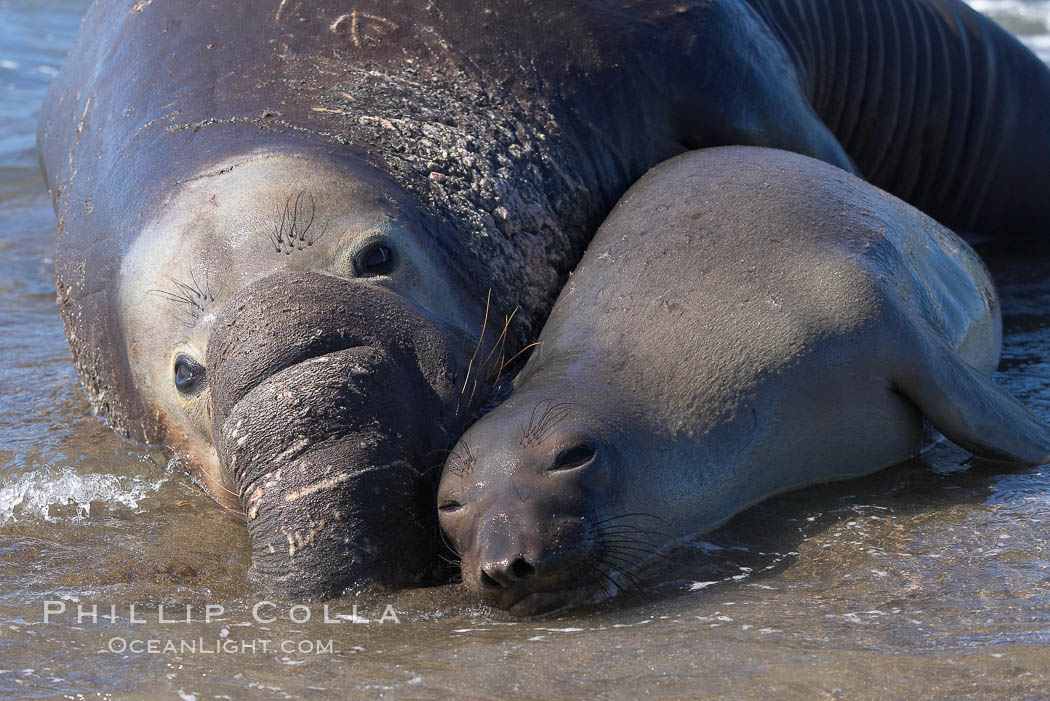 Elephant seals in the surf, showing extreme dimorphism, males (5000 lb) are triple the size of females (1700 lb).  Central California., Mirounga angustirostris,  Copyright Phillip Colla, image #15497, all rights reserved worldwide.