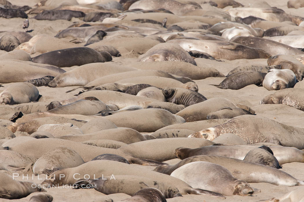 Northern elephant seal., Mirounga angustirostris, natural history stock photograph, photo id 26703