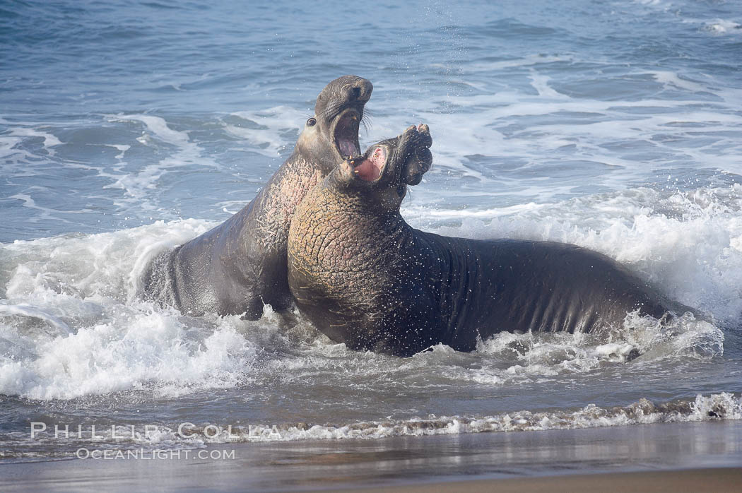 Male elephant seals (bulls) rear up on their foreflippers and fight in the surf for access for mating females that are in estrous.  Such fighting among elephant seals can take place on the beach or in the water.  They bite and tear at each other on the neck and shoulders, drawing blood and creating scars on the tough hides., Mirounga angustirostris,  Copyright Phillip Colla, image #20369, all rights reserved worldwide.