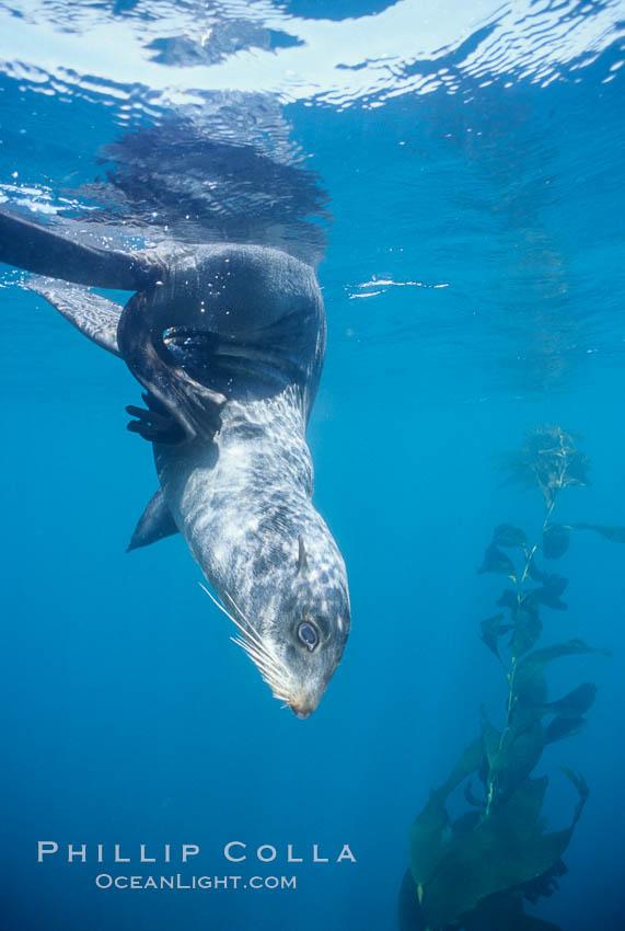 Northern fur seal, Callorhinus ursinus, San Miguel Island