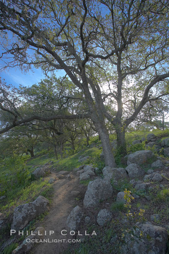 Oak tree and dirt walking path.,  Copyright Phillip Colla, image #20532, all rights reserved worldwide.