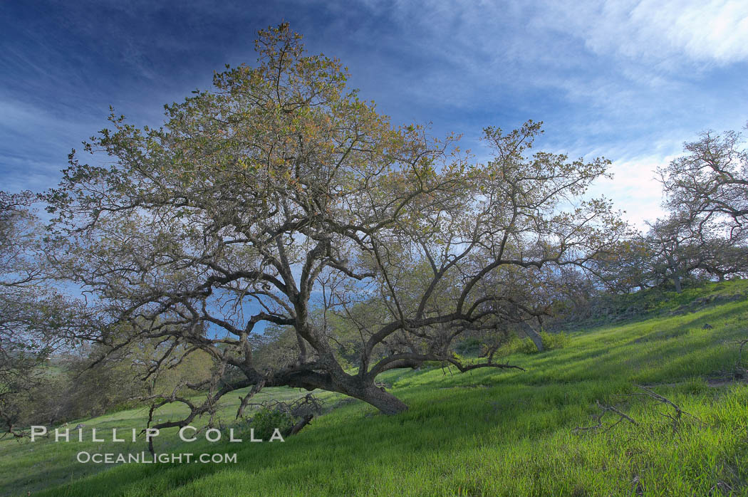 Oak tree and pastoral rolling grass-covered hills.,  Copyright Phillip Colla, image #20538, all rights reserved worldwide.