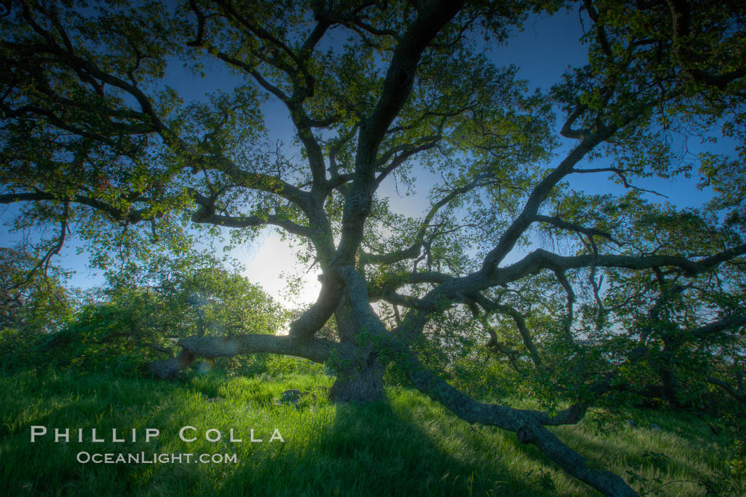 Oak tree at sunrise, Santa Rosa Plateau, Santa Rosa Plateau Ecological Reserve, Murrieta, California
