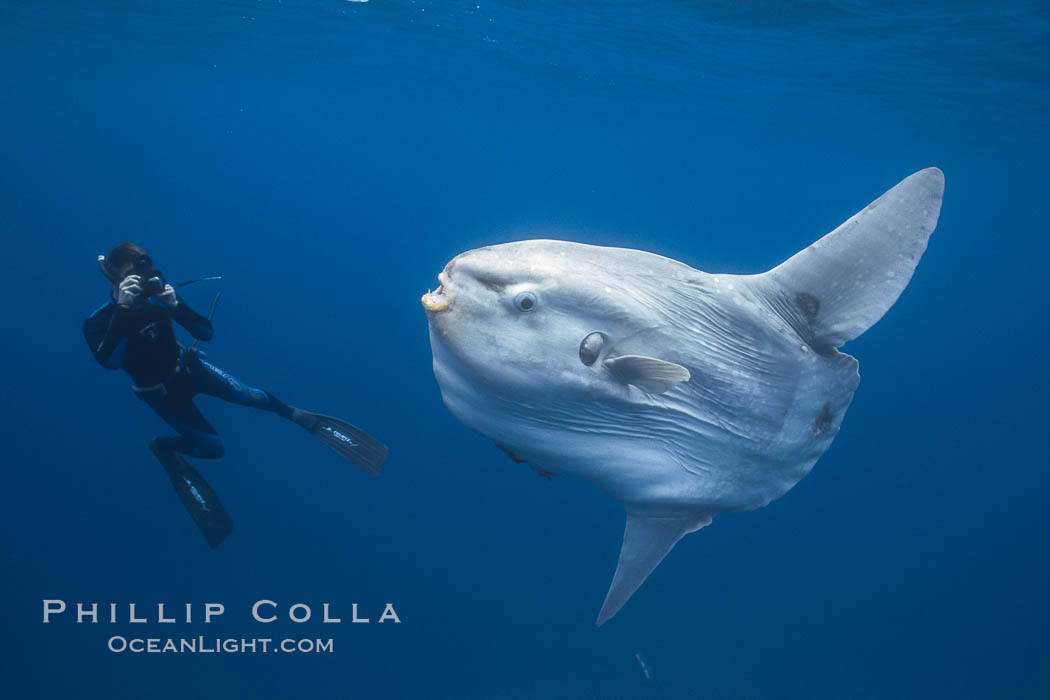 Ocean sunfish and freediving photographer , open ocean. San Diego, California, USA, Mola mola, natural history stock photograph, photo id 03834