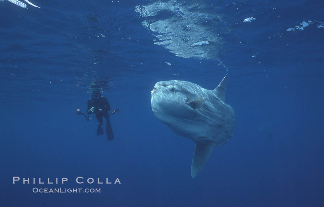 Ocean sunfish and freediving photographer, open ocean, Baja California., Mola mola, natural history stock photograph, photo id 06376