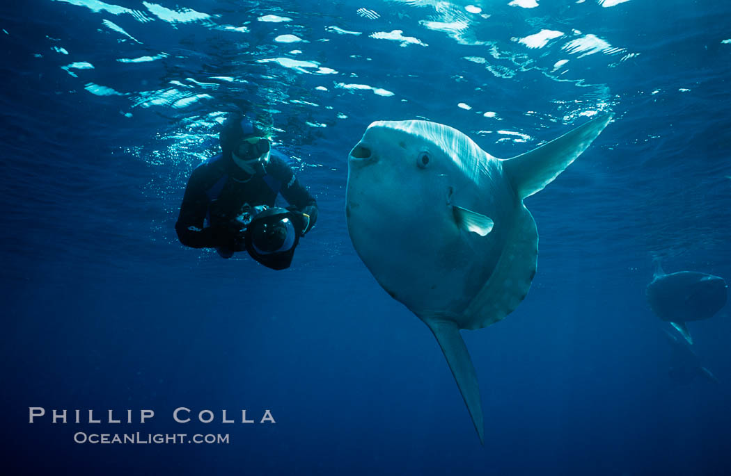 Ocean sunfish and freediving photographer Ken Howard, open ocean, Baja California., Mola mola, natural history stock photograph, photo id 06420